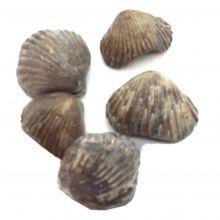 Muschel versteinert, Versteinerung, Stein Natur, Fossil